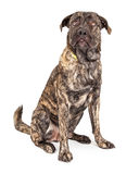 Funny Giant Dog Looking Up Royalty Free Stock Photography