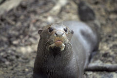 Funny giant otter. Giant otter with silly face Stock Photography