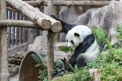Funny Giant Panda Royalty Free Stock Photography