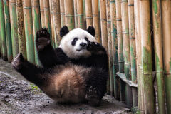 Funny giant panda waiving. Giant panda waiving in the zoo Royalty Free Stock Photography
