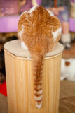 Funny ginger cat. Showing his tail Royalty Free Stock Photos