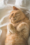 Funny ginger cat on bed Stock Image