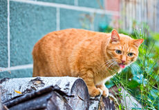 Funny ginger cat licking his lips Stock Photo