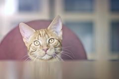 Funny ginger cat looking curious at the table. stock photography