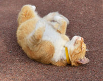 Funny ginger cat lying on back Royalty Free Stock Image