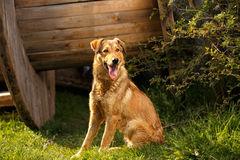 Funny Ginger Dog Sits on Grass Outdoor Stock Photo