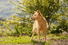 Funny Ginger Dog Stands on Grass Outdoor Royalty Free Stock Image