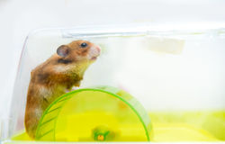 Funny ginger hamster in his cage Stock Photo