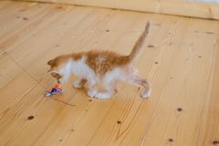Funny ginger kitten trying to catch the toy. Stock Images