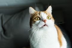 Ginger and white cat looking up. Funny ginger and white cat with vampire fangs, long whiskers and surprised expression looking up royalty free stock photos