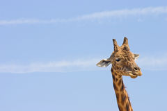 Funny giraffe. Head shot of a single giraffe who looks like he's making a funny face while actually he's chewing. Set against a nice blue sky with plenty of room Royalty Free Stock Image