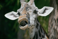 Funny giraffe. Head mouth open Stock Photos
