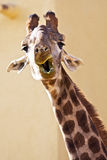 Funny giraffe. Portrait of funny giraffe in a sunny day Royalty Free Stock Image