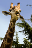 Funny giraffe. A funny giraffe makes face Stock Image