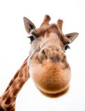 Funny Giraffe. Close-up of a Funny Giraffe on a white background stock photos