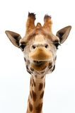 Funny Giraffe. Close-up of a Funny Giraffe on a white background Stock Photo