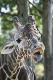 Funny Giraffe. A funny giraffe with its tongue sticking out Stock Photos