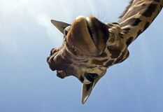 Funny giraffe. A funny giraffe from below Stock Photography