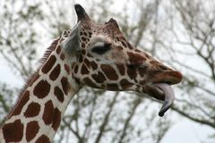 Funny Giraffe. With tongue outside Stock Photography