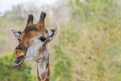 Funny giraffe on clear background Stock Images