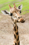 Funny giraffe in close view. Funny giraffe with long thin neck in close view Stock Image