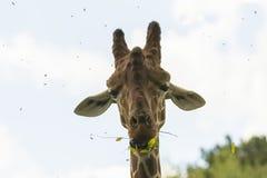 Funny Giraffe Stock Images