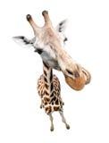 Funny giraffe closeup portrait isolated. Giraffe closeup portrait isolated on white. Top view wide lens shot royalty free stock image