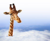 Funny giraffe. With coming out of the clouds Stock Photography