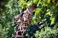 Funny giraffe eats green leaves with a tall tree and looks at the camera. For your design stock images