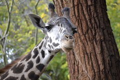 Funny Giraffe Face Royalty Free Stock Images