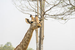 Funny Giraffe. Funny face of giraffe walking around under the tree in the park Stock Image