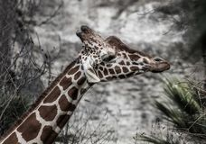 Funny Giraffe with hung down ears. Funny Giraffe hungs down ears on stone background in sunny day Royalty Free Stock Images