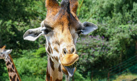 Funny giraffe with outstretched tongue. While eating Stock Photos