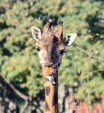 Funny giraffe portrait stock image