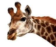 Funny Giraffe Portrait Stock Images