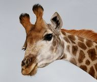 Funny Giraffe Portrait Royalty Free Stock Image