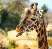 Funny giraffe portrait outdoors stock images