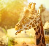 Funny giraffe portrait outdoors royalty free stock images