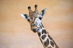 Funny giraffe shows tongue. Stock Photos