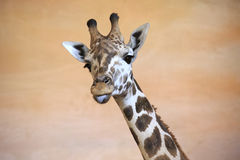 Funny giraffe shows tongue. Stock Photo