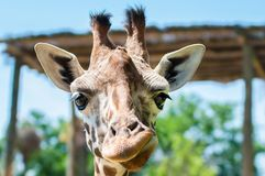 Funny giraffe smiles and grimaces, builds his face,. Laughs Stock Image