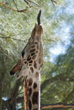 Funny giraffe sticking out tongue. Feeding Royalty Free Stock Photos