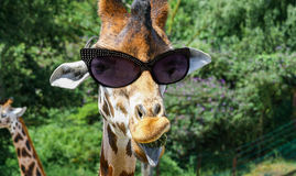 Funny giraffe with sunglasses. And outstretched tongue Royalty Free Stock Images