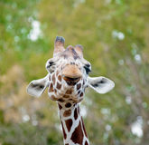 Funny giraffe. Winking close up Royalty Free Stock Photography