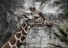 Funny Giraffe with wrinkled nose. Funny Giraffe smells wrinkles his nose on stone backgroun in daytime Stock Images