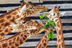 Funny Giraffes. Fighting over some green leafs with their long tongues Royalty Free Stock Photo