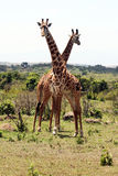 Funny giraffes Royalty Free Stock Images