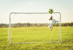 Funny goalkeeper jumping and catching football soccer ball photo filter effect. Jack Russell Terrier dog playing football stock photos