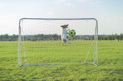 Funny goalkeeper saving goal catching football soccer ball. Jack Russell Terrier dog playing football stock image
