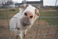 Funny goat. Funny closeup of goat farm animal looking at camera Stock Photo